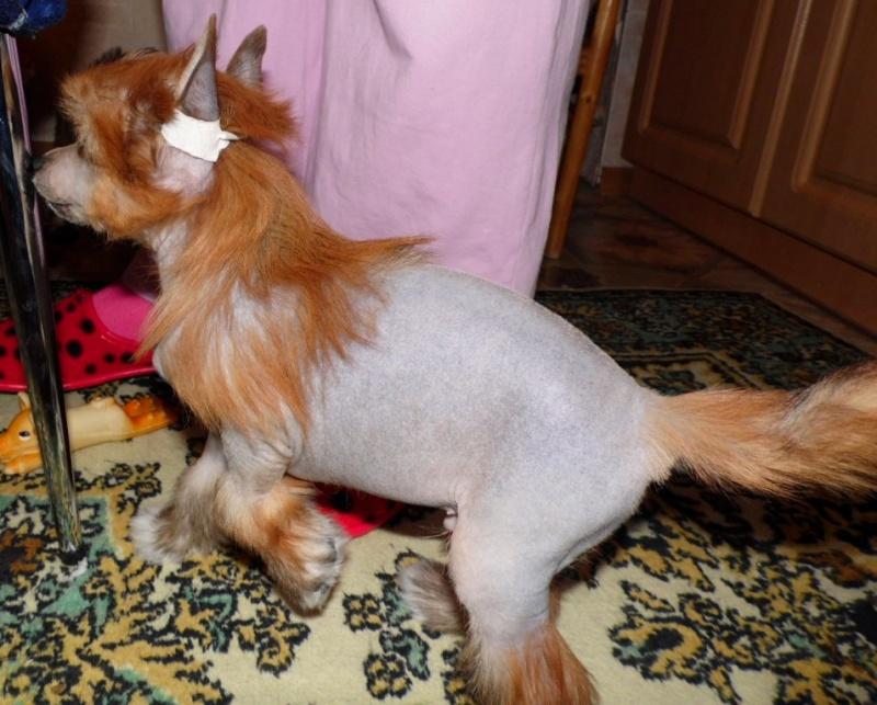 Продаются очаровательные щенки Китайской Хохлатой собаки от титулованных родителей, чемпионов Sam_0810