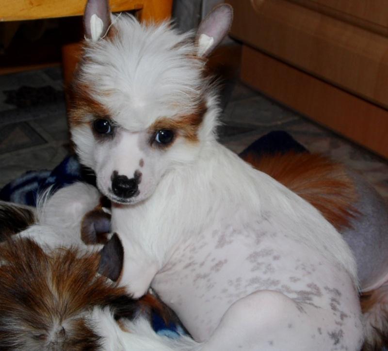 Продаются очаровательные щенки Китайской Хохлатой собаки от титулованных родителей, чемпионов Sam_0812