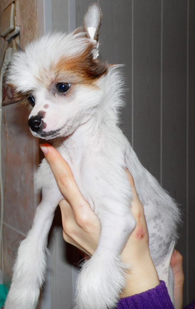 Продаются очаровательные щенки Китайской Хохлатой собаки от титулованных родителей, чемпионов Sam_0815