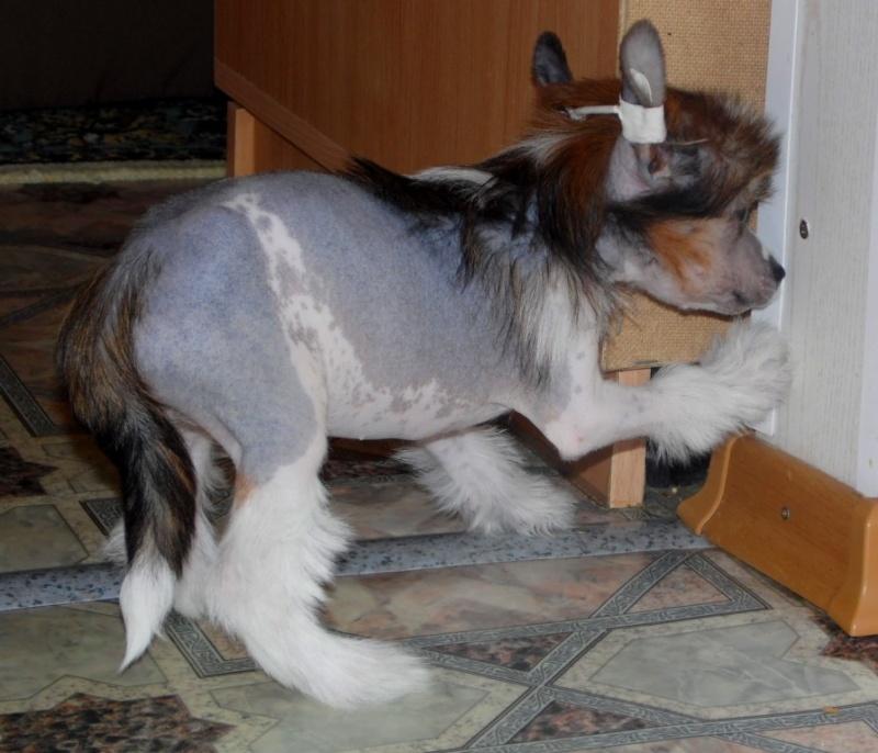 Продаются очаровательные щенки Китайской Хохлатой собаки от титулованных родителей, чемпионов Sam_0817