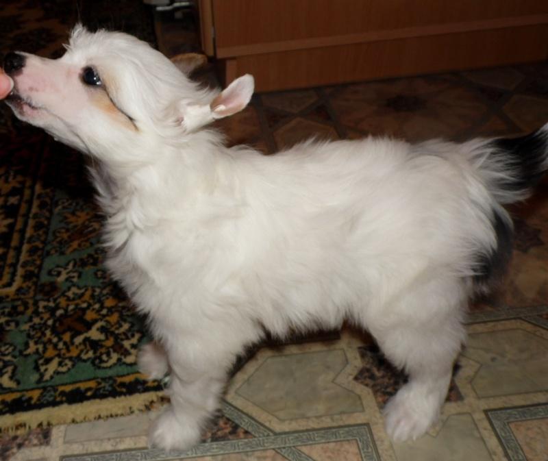 Продаются очаровательные щенки Китайской Хохлатой собаки от титулованных родителей, чемпионов Sam_0818