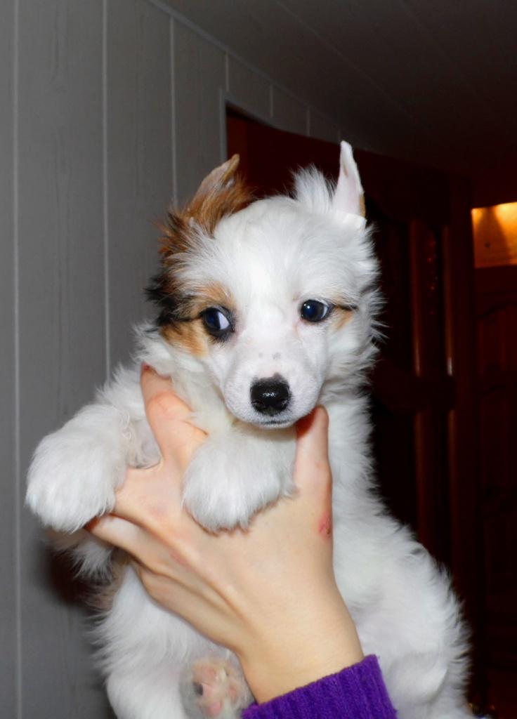 Продаются очаровательные щенки Китайской Хохлатой собаки от титулованных родителей, чемпионов Sam_0819