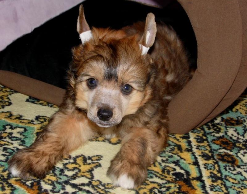 Продаются очаровательные щенки Китайской Хохлатой собаки от титулованных родителей, чемпионов Sam_0821
