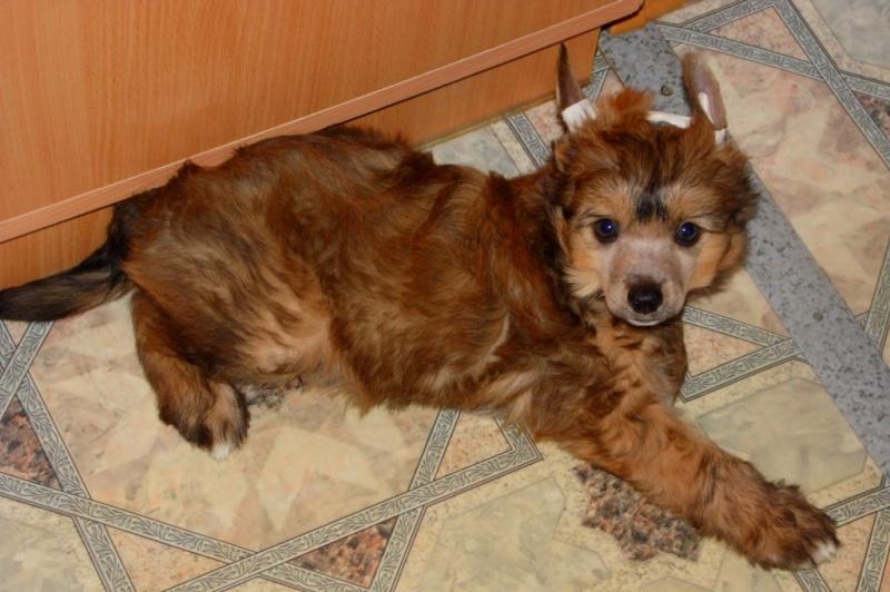 Продаются очаровательные щенки Китайской Хохлатой собаки от титулованных родителей, чемпионов Sam_0822