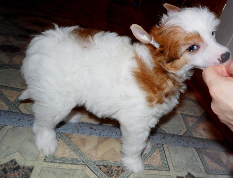 Продаются очаровательные щенки Китайской Хохлатой собаки от титулованных родителей, чемпионов Sam_0824