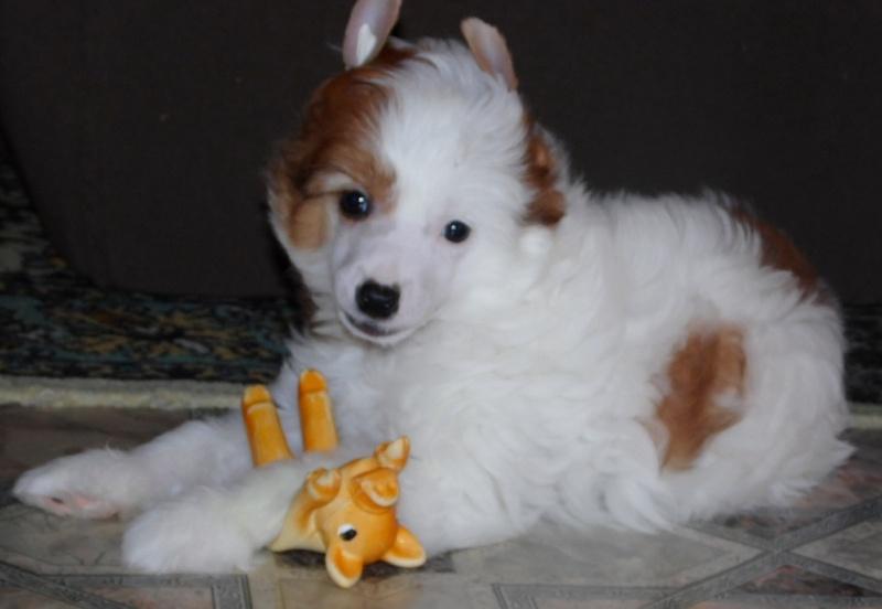 Продаются очаровательные щенки Китайской Хохлатой собаки от титулованных родителей, чемпионов Sam_0825