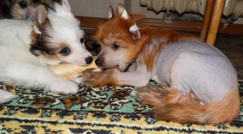 Продаются очаровательные щенки Китайской Хохлатой собаки от титулованных родителей, чемпионов Sam_0828