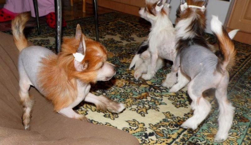 Продаются очаровательные щенки Китайской Хохлатой собаки от титулованных родителей, чемпионов Sam_0829
