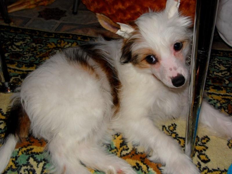 Продаются очаровательные щенки Китайской Хохлатой собаки от титулованных родителей, чемпионов Sam_0913