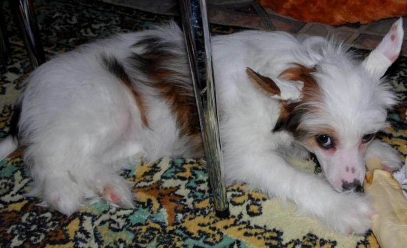 Продаются очаровательные щенки Китайской Хохлатой собаки от титулованных родителей, чемпионов Sam_0914