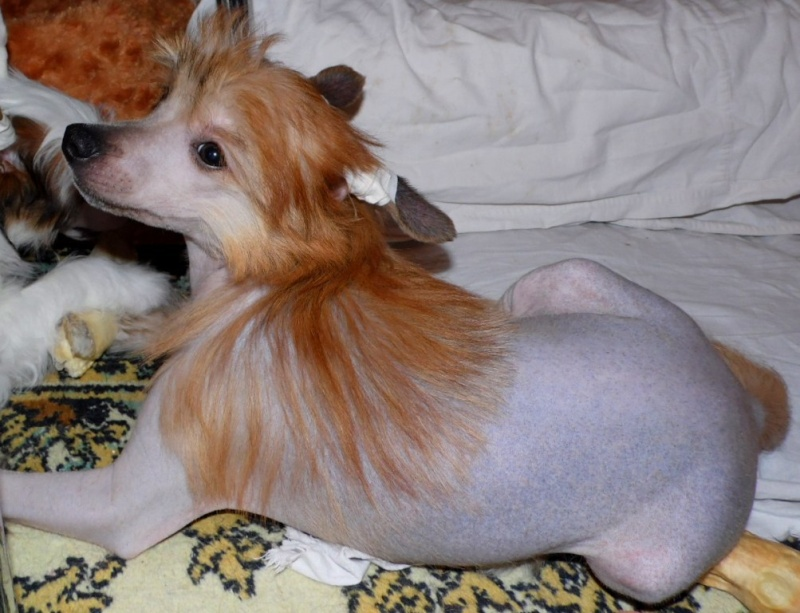 Продаются очаровательные щенки Китайской Хохлатой собаки от титулованных родителей, чемпионов Sam_1010