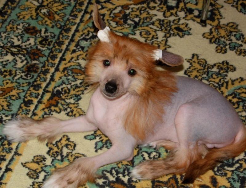 Продаются очаровательные щенки Китайской Хохлатой собаки от титулованных родителей, чемпионов Sam_1017