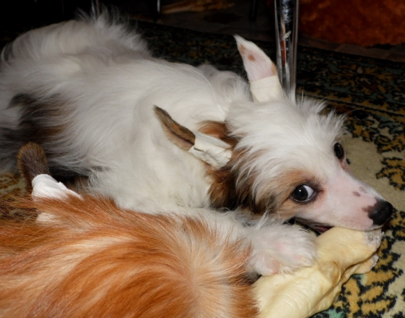 Продаются очаровательные щенки Китайской Хохлатой собаки от титулованных родителей, чемпионов Sam_1027