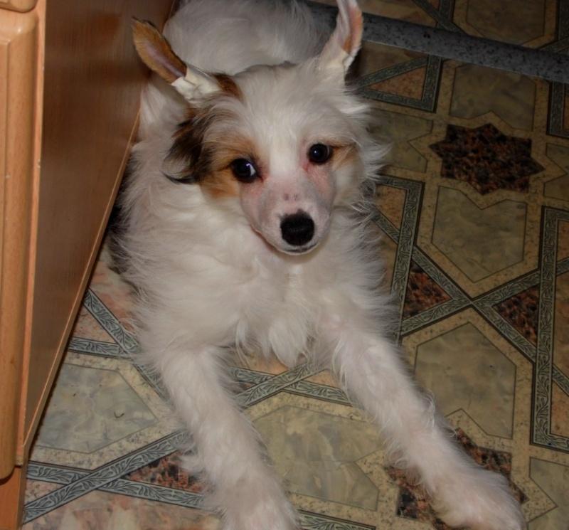 Продаются очаровательные щенки Китайской Хохлатой собаки от титулованных родителей, чемпионов Sam_1028