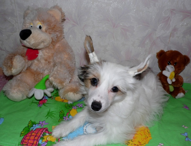 Продаются очаровательные щенки Китайской Хохлатой собаки от титулованных родителей, чемпионов Sam_1029
