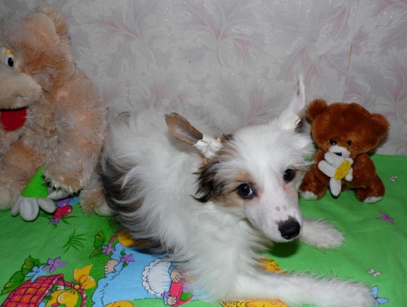 Продаются очаровательные щенки Китайской Хохлатой собаки от титулованных родителей, чемпионов Sam_1030
