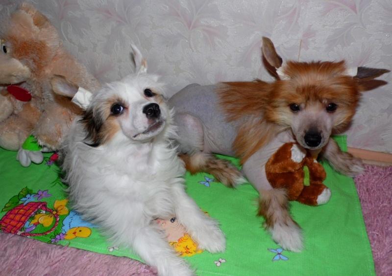 Продаются очаровательные щенки Китайской Хохлатой собаки от титулованных родителей, чемпионов Sam_1031