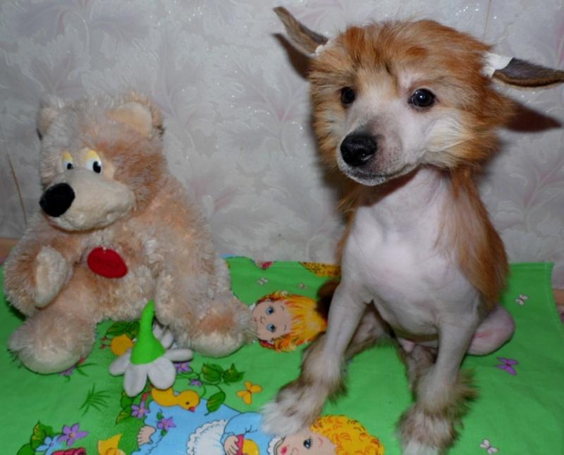 Продаются очаровательные щенки Китайской Хохлатой собаки от титулованных родителей, чемпионов Sam_1110