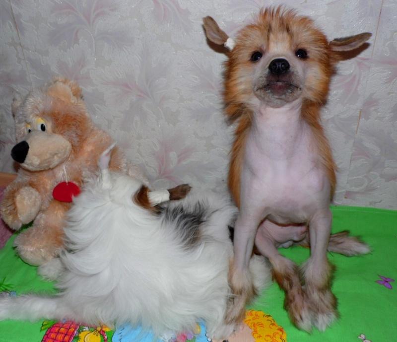 Продаются очаровательные щенки Китайской Хохлатой собаки от титулованных родителей, чемпионов Sam_1112