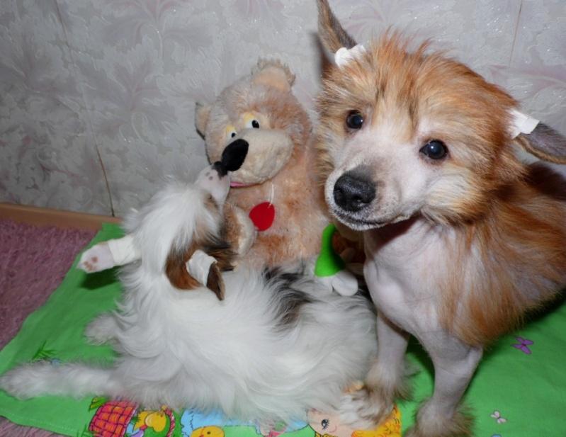 Продаются очаровательные щенки Китайской Хохлатой собаки от титулованных родителей, чемпионов Sam_1113