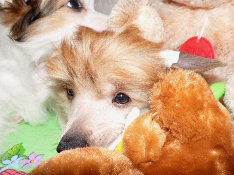 Продаются очаровательные щенки Китайской Хохлатой собаки от титулованных родителей, чемпионов Sam_1116