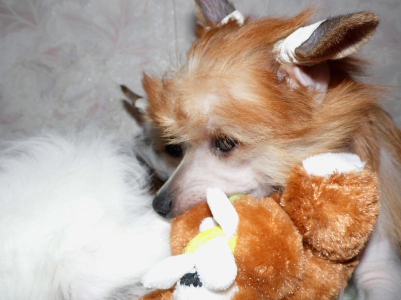 Продаются очаровательные щенки Китайской Хохлатой собаки от титулованных родителей, чемпионов Sam_1117