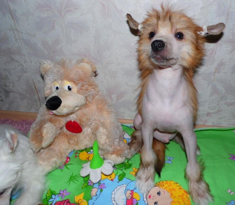 Продаются очаровательные щенки Китайской Хохлатой собаки от титулованных родителей, чемпионов Sam_1118