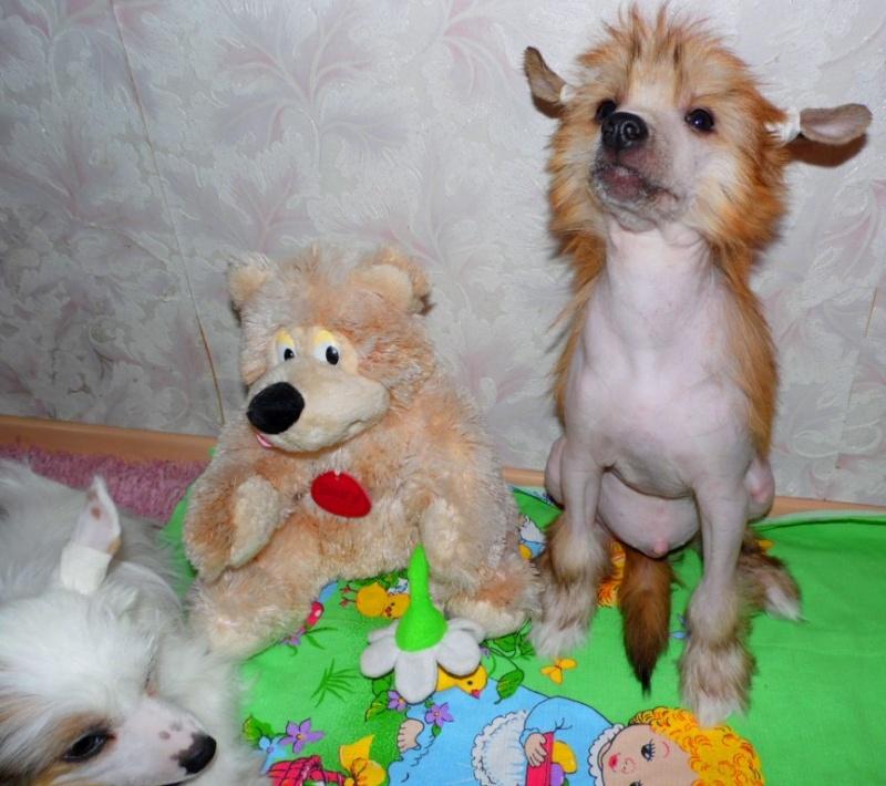 Продаются очаровательные щенки Китайской Хохлатой собаки от титулованных родителей, чемпионов Sam_1119