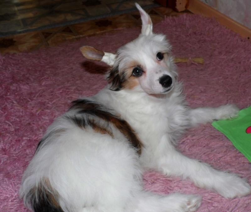 Продаются очаровательные щенки Китайской Хохлатой собаки от титулованных родителей, чемпионов Sam_1126
