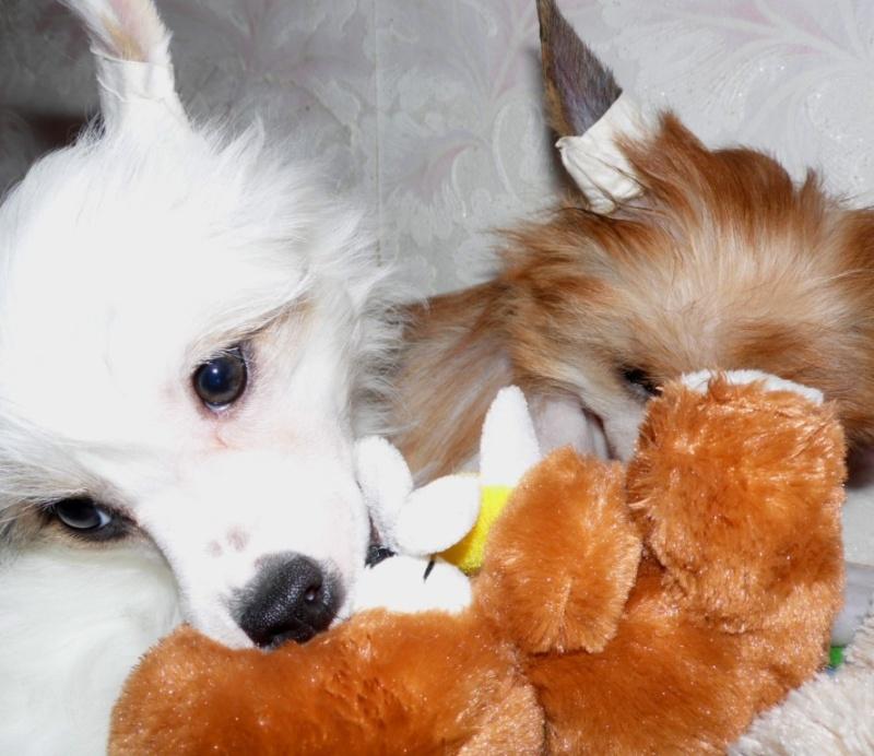 Продаются очаровательные щенки Китайской Хохлатой собаки от титулованных родителей, чемпионов Sam_1127