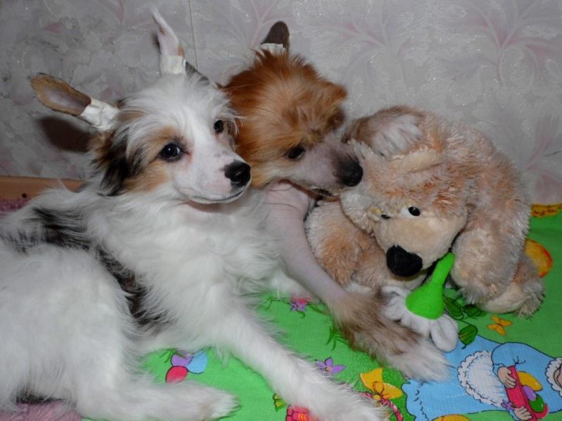 Продаются очаровательные щенки Китайской Хохлатой собаки от титулованных родителей, чемпионов Sam_1128