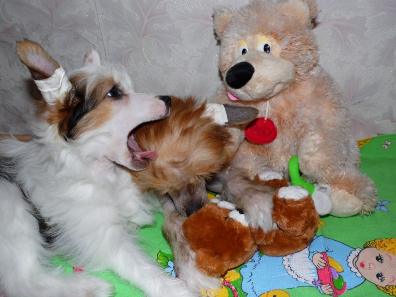 Продаются очаровательные щенки Китайской Хохлатой собаки от титулованных родителей, чемпионов Sam_1129