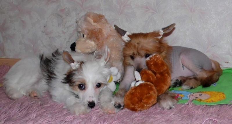 Продаются очаровательные щенки Китайской Хохлатой собаки от титулованных родителей, чемпионов Sam_1130