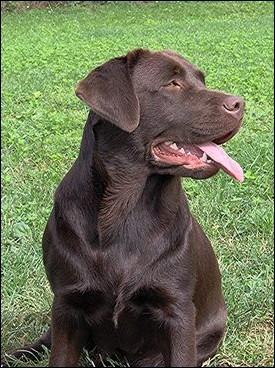 Retriever du Labrador Chocol10