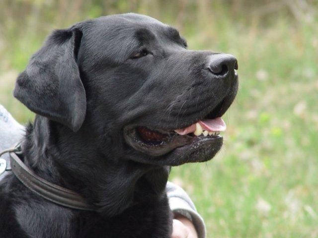 Retriever du Labrador Labrad10