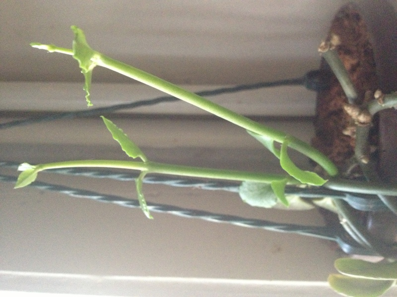 Plante d'appartement peut-être hoya ? non :  ceropegia sandersonii ou plante parachute  - Page 2 Bouts_10