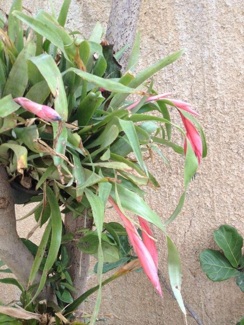 bllibergia en fleurs Photo_11