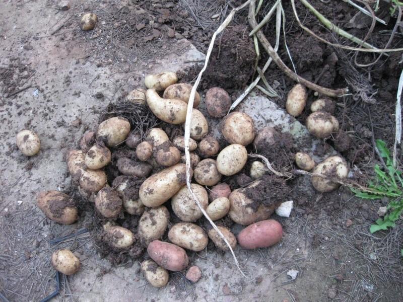 La pomme de terre Potage15