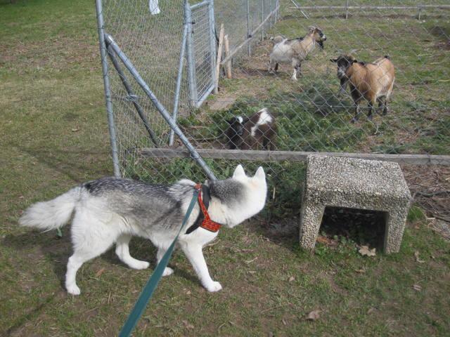 Saskia voudrait jouer avec les chèvres... 110