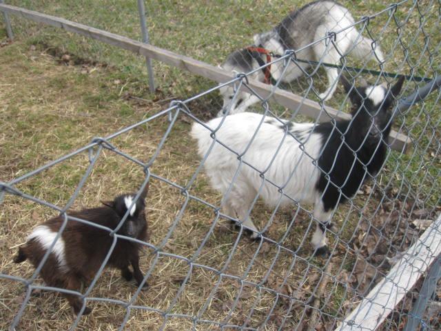 Saskia voudrait jouer avec les chèvres... 1110