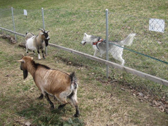 Saskia voudrait jouer avec les chèvres... 1210