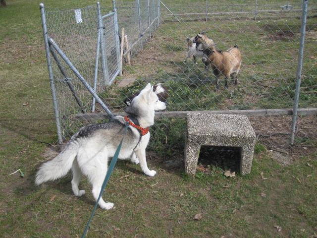 Saskia voudrait jouer avec les chèvres... 210