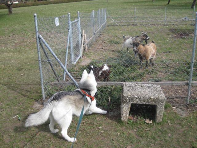 Saskia voudrait jouer avec les chèvres... 311