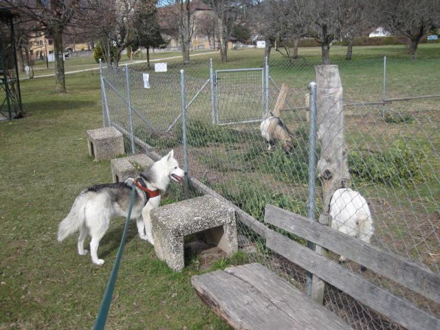 Saskia voudrait jouer avec les chèvres... 411