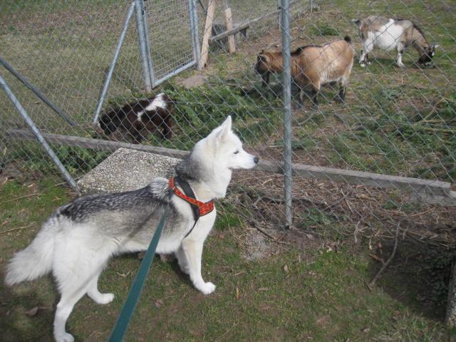 Saskia voudrait jouer avec les chèvres... 511