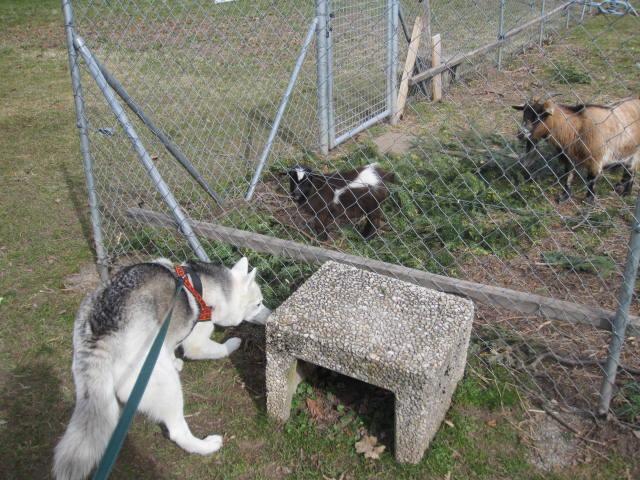 Saskia voudrait jouer avec les chèvres... 610