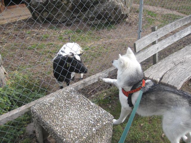 Saskia voudrait jouer avec les chèvres... 710