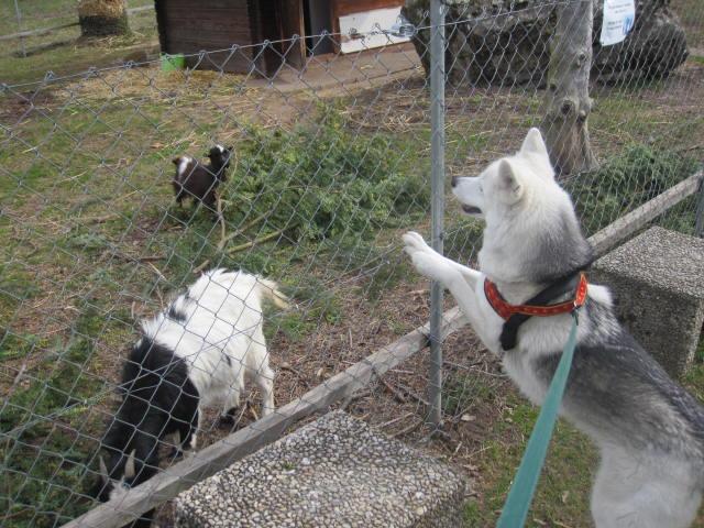 Saskia voudrait jouer avec les chèvres... 810