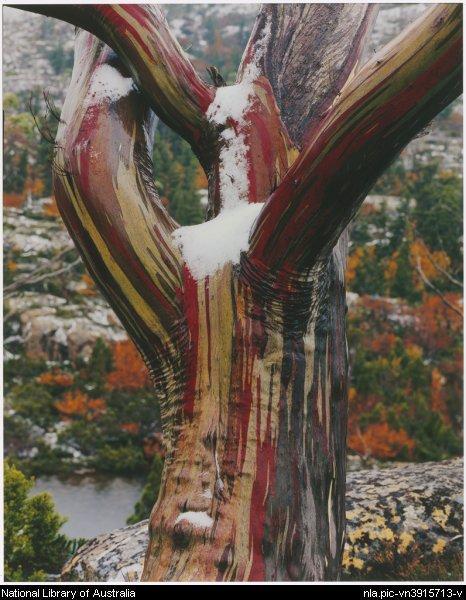 Eucalyptus  Euca_c10