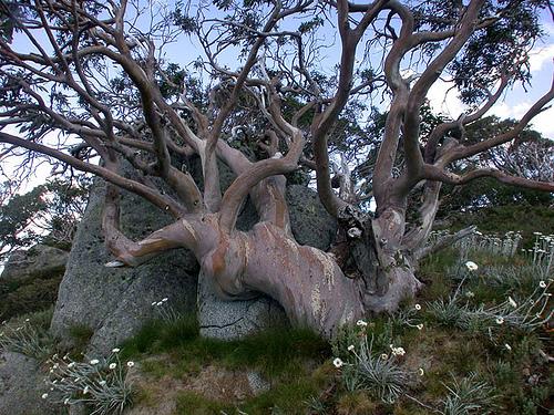 Eucalyptus  Euca_n11